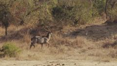 Waterbuck Running - Slow Motion Stock Footage