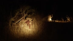 White Lion and Pride Eating at Night Stock Footage