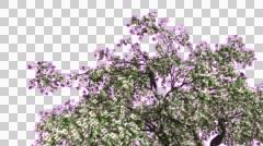 Cherry Blossoms Chromakey Crown Isolated Tree Chroma Key Alfa Alfa Channel Stock Footage