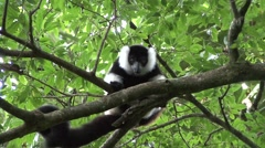 Black and white ruffed lemur resting in tree Stock Footage