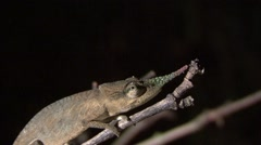 Blade chameleon male on twig in the night Stock Footage