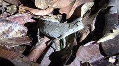 Brown leaf chameleon on the ground during the day Stock Footage