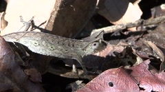 Brown leaf chameleon move on the ground during the day Stock Footage