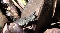 Brown leaf chameleon on the ground during the day 2 Stock Footage
