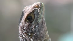 Collared iguana closeup of head Stock Footage