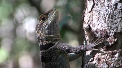 Collared iguana on tree trunk Stock Footage