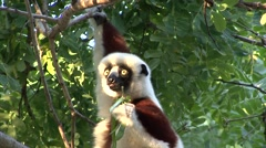 Coquerel's Sifaka feeding on leaf Stock Footage