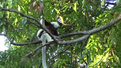 Coquerel's sifaka looking around in tree  Stock Footage