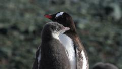 Gentoo penguins Stock Footage