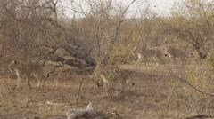 Pride of Lions Walking Through Bush Stock Footage