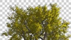Amur Cork Chromakey Crown Isolated Tree Chroma Key Alfa Alfa Channel Crown Stock Footage