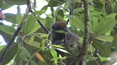 Eastern grey bamboo lemur feeding Stock Footage