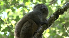 Eastern grey bamboo lemur looking around in tree 10 Stock Footage