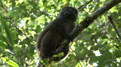 Eastern grey bamboo lemur looking around in tree 2 Stock Footage