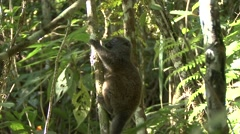 Eastern grey bamboo lemur looking around in tree 4 Stock Footage
