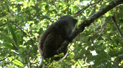 Eastern grey bamboo lemur looking around in tree 3 Stock Footage