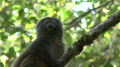 Eastern grey bamboo lemur looking around in tree 5 Stock Footage