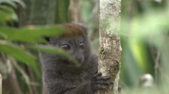 Eastern grey bamboo lemur looking around in tree 6 Stock Footage