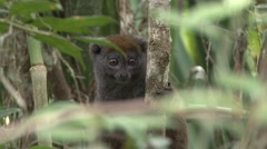 Eastern grey bamboo lemur looking around in tree 8 Stock Footage