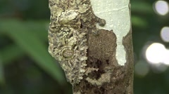 Giant leaf-tailed Gecko camouflaged against tree trunk  Stock Footage
