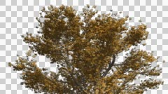American Sycamore Chromakey Crown Isolated Tree Chroma Key Alfa Alfa Channel - stock footage