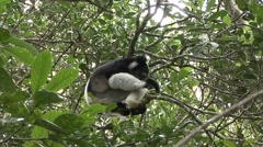 Indri feeding in tree Stock Footage