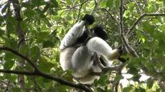 Indri Eating leaves on tree.  Stock Footage