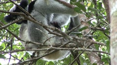 Indri female cleaning new born baby on stomach Stock Footage