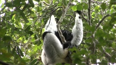 Indri sit in tree looking around 2 Stock Footage