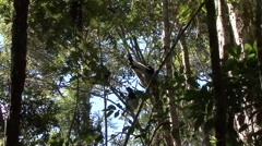 Indri sit in tree looking around Stock Footage