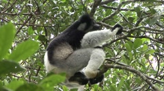 Indri sitting in tree and looking. Stock Footage