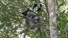 Indri hanging on tree. Stock Footage