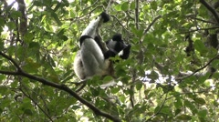 Indri sit in tree. Stock Footage