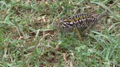 Jewel chameleon walk in grass 2 Stock Footage