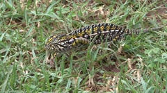 Jewel chameleon walk in grass 3 Stock Footage