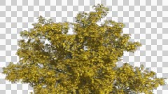 American Elm Chromakey Crown Isolated Tree Chroma Key Alfa Alfa Channel Crown Stock Footage