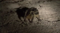 Lowland streaked tenrec digging for food and eat a worm at night 1 - stock footage