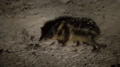 Lowland streaked tenrec digging for food at night 2 - stock footage