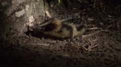 Lowland streaked tenrec looking for food at night 1 - stock footage