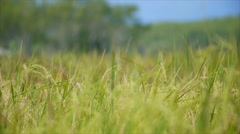 Stock Video Footage of Rice field withbokeh of tree and blue sky