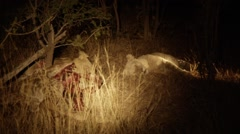 Rare White Lion with Half Eaten Baby Giraffe Stock Footage