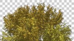 American Beech Chromakey Crown Isolated Tree Chroma Key Alfa Alfa Channel Crown - stock footage