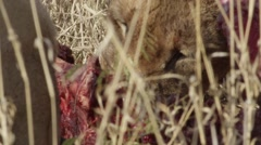 Lion Pride Eating Pray - Close Up - Slow Motion Stock Footage