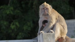 Monkey mother with baby on pole,Pangandaran,Java,Indonesia Stock Footage