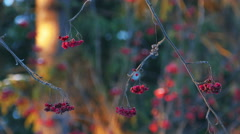 Rowan Berries on a Tree in Winter Forest During Sunset Stock Footage