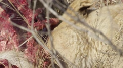 Stock Video Footage of Lion Tearing at Waterbuck Carcass - Slow Motion