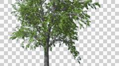 European Linden Chromakey Isolated Tree Chroma Key Alfa Alfa Channel Green - stock footage