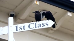 Two black Rooks sit on a 1st Class signpost Stock Footage