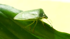 Green Stink Bug Stock Footage