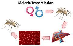 Malaria Transmission diagram with no text Stock Illustration